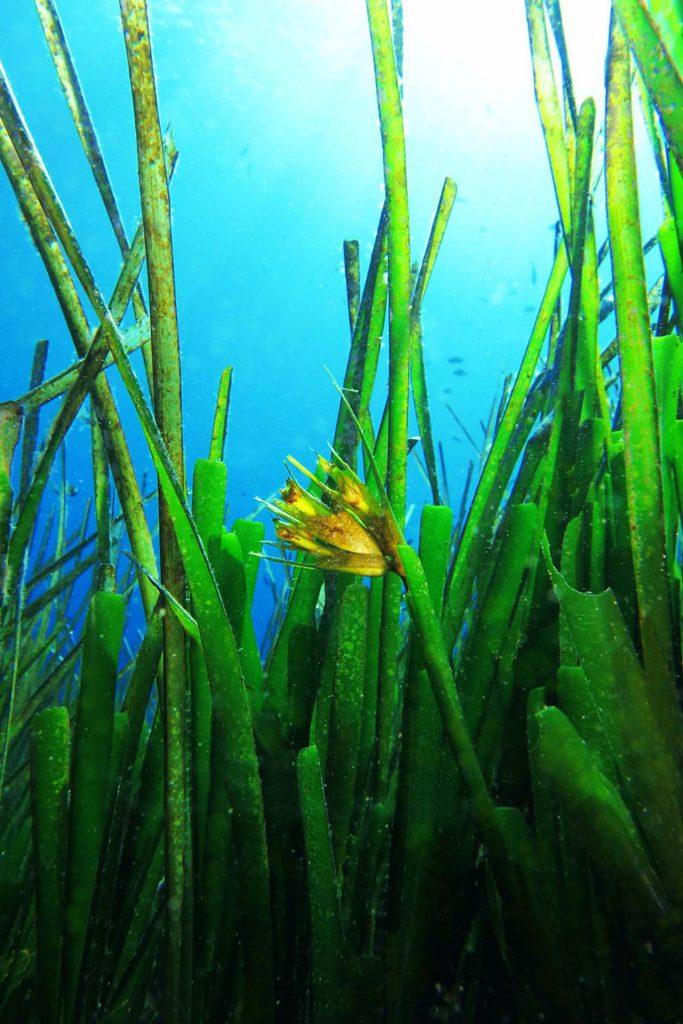 Posidonia Oceanica